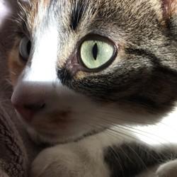 Cayenne, chat Européen