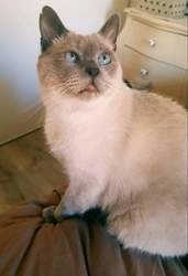 Cayenne, chat Birman
