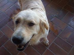 Cayla, chien Golden Retriever