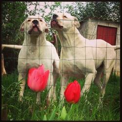 Cayla Et Démon , chien Dogue argentin