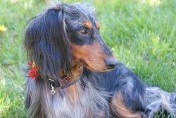 Dustin, chien Teckel
