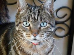 Rouky, chat Européen