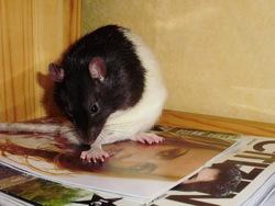 Tweek, rongeur Rat