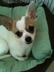 Egy, chien Chihuahua