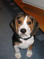 Malo, chien Beagle