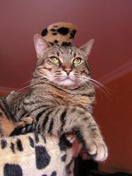 Brisette , chat Gouttière
