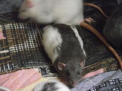 Sushi, rongeur Rat