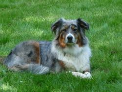 Nicky, chien Berger australien