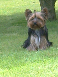 Crystal, chien Yorkshire Terrier