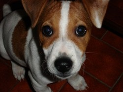 Youcky, chien Jack Russell Terrier