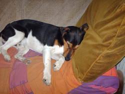 Rex, chien Fox-Terrier