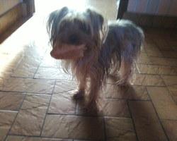 Dana, chien Yorkshire Terrier