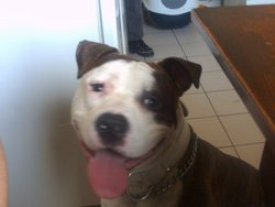 Daytona, chien American Staffordshire Terrier