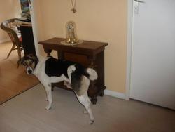 Camina, chien Beagle