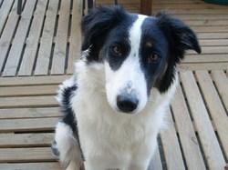 Eole, chien Border Collie