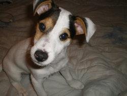 Ganja, chien Jack Russell Terrier