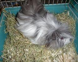 Onyx, rongeur Cochon d'Inde