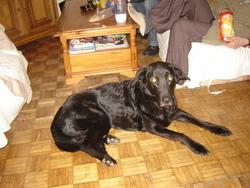 Ophelie, chien Labrador Retriever