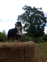 Elfy, chien Berger australien