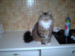 Ponpon, chat Maine Coon