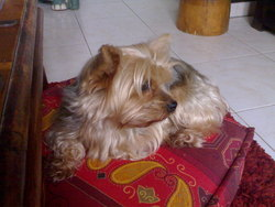 Choupa, chien Yorkshire Terrier