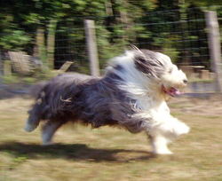Nelson, chien Bearded Collie