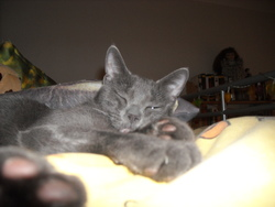 Princesse, chat Chartreux
