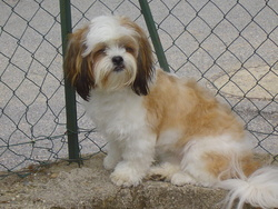 Daisy, chien Lhassa Apso