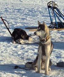 Wolverine, chien Husky sibérien