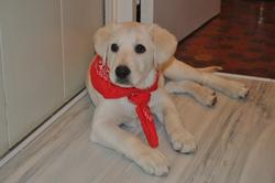 Focette, chien Labrador Retriever