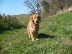 Chiara, chien Golden Retriever