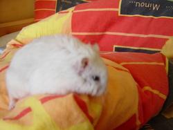 Bibi, rongeur Hamster