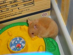 Eglantine, rongeur Hamster