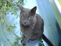 Spilou, chat Bleu russe