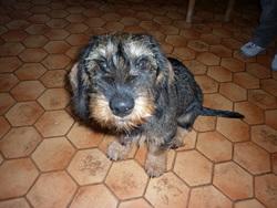 Filou, chien Teckel