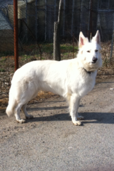 Eden, chien Berger blanc suisse