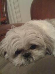 Babouche, chien Shih Tzu