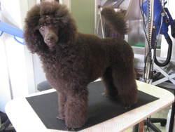 Ethan, chien Caniche