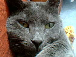 Sushy, chat Chartreux