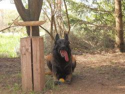 Chambara, chien Berger belge