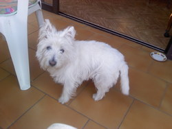 Sissi, chien West Highland White Terrier