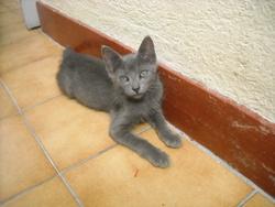 Grisette, chat Chartreux