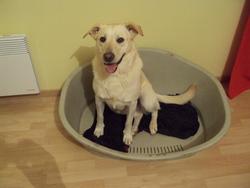 Ceany, chien Labrador Retriever