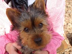 Ophelie, chien Yorkshire Terrier
