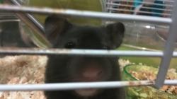 Cece, rongeur Hamster