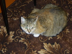 Moussia, chat Bleu russe
