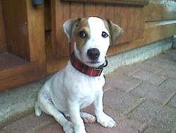 Enjy, chien Jack Russell Terrier