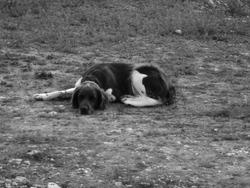 Cedille, chien Petit Münsterländer