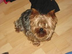 Cédille, chien Yorkshire Terrier