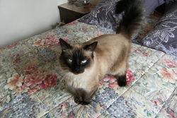 Eden, chat Balinais